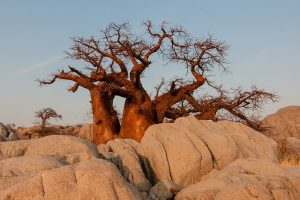 Picture of baobab tree in the desert