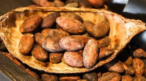 Cacao beans fresh in a shell of the fruit