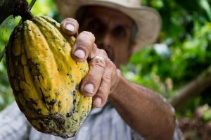 Cocoa fruit fresh and picked up by a farmer