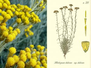 helichrysum flower next to a drawing of the plant