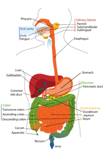 Digestive-system anatomy.  Sketch of the digestive system colored with tags to describe every organ and part of the digestive system in human beings.